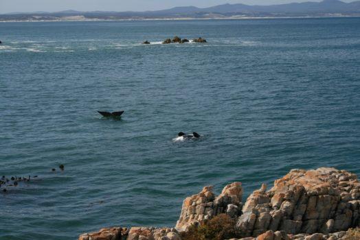 Voir les baleines à Hermanus