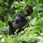 Que faire en Ouganda - Voir des gorilles