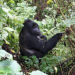 Top 10 Ouganda - Rencontre avec les gorilles