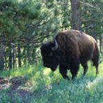 Bison du Custer Park - Dakota du Sud