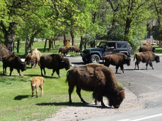 Voyage Dakota du Sud - Bisons